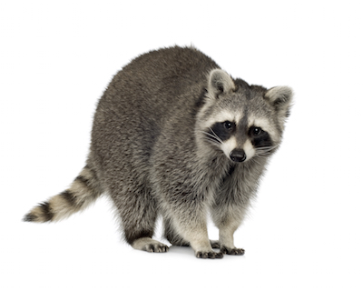 raccoon control service